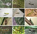 Mantodea from Central African Republic 2.jpg