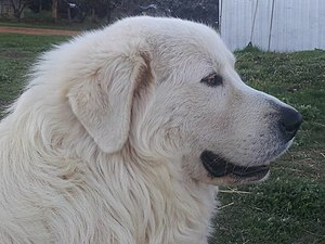 Maremma Sheepdog - Maremma Sheepdog