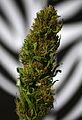 """Marijuana """"after curing"""" ..jpg"""