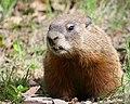 Marmota monax UL 15.jpg