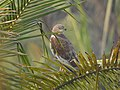 Marsh harrier-kattampally - 2.jpg