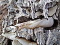 Martesia striata bivalves in wood borings (driftwood on marine beach, Cayo Costa Island, Florida, USA) 18 (25568857644).jpg