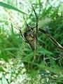 Mating of Sphenarium purpurascens (Order Orthoptera).jpg