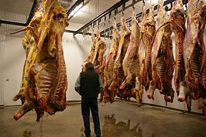 Hanging (meat) - Meat hanging in a cooler room. Freshly slaughtered animals are on the left, day-old animals on the right.