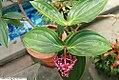 Medinilla magnifica 14zz.jpg
