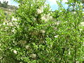 Mediterranean Buckthorn and Evergreen Traveller's Joy.jpg