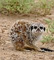 Meerkat (Suricata suricatta) end of yawn - scary look ... (32653554190).jpg