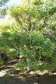 Melaleuca linariifolia - Jardín Botánico de Barcelona - Barcelona, Spain - DSC09011.JPG