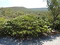 Melaleuca urceolaris (habit).JPG