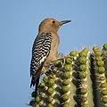 Melanerpes uropygialis Tucson AZ.jpg