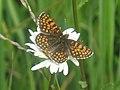 Melitaea athalia - Heath fritillary - Шашечница аталия (27278627168).jpg