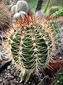 Melocactus borhidii grafted.jpg