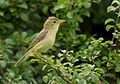Melodious warbler (Hippolais polyglotta), Le Petit Loc'h, Guidel, Brittany, France (19927161256).jpg