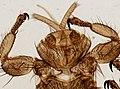 Melophagus ovinus (YPM IZ 093757).jpeg