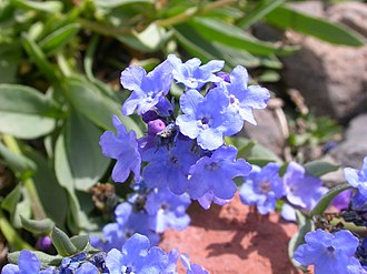 Mertensia - Image: Mertensia alpina (7977046090)