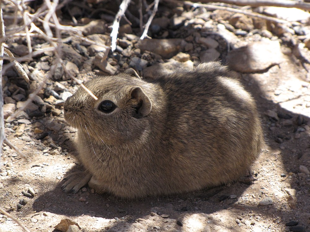 The average litter size of a Southern mountain cavy is 2