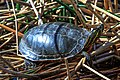 Mid morning in the Six Mile (Pat) Lake area…Western Painted Turtles (9077771261).jpg