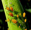 Milkweed - or oleander - aphid, Aphis nerii.jpg