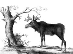 Miller John Frederick Cimelia Moose.png