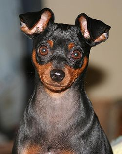 Min pin ear detail.jpg