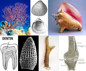 Mineralized tissues - Mineralized tissues: sea sponge, sea shells, conch, dentin, radiolarian, antler, bone