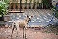 Mini 5 months old male Chippiparai dog 4.jpg