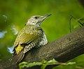 Miss Green woodpecker (42787816314).jpg