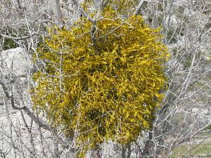 Mistletoe - Mistletoe in winter