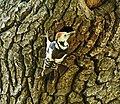 Mittelspecht (Dendrocopos medius) 2H1A0944WI.jpg