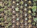 Mobarakabad, Qom-Cactaceae in Iran گلخانه کاکتوس، روستای مبارک آباد قم 45.jpg