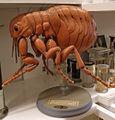 Modell von Pulex irritans (weiblicher Menschenfloh) -Louis M. Meusel-.jpg