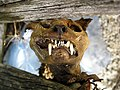 Moggessa di Quá mummified cat 2008 1004.JPG