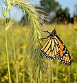 Monarch Butterfly on Foxtail in Michigan (21087664299).jpg