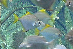 Brackish water - A brackish water fish: Monodactylus argenteus