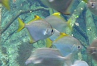 Brackish water - A brackish water fish: Monodactylus argenteus