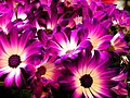 More oddly colored daisies - Flickr - Muffet.jpg