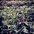 Morning Field Of Frosted Holly (19425321).jpeg