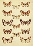 Moths of the British Isles Series2 Plate082.jpg