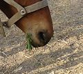 category veterinary medicine for mules and donkeys   wikimedia commons