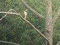 Mountain Hawk-Eagle (37541328546).jpg