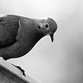 Mourning dove in the evening (4820919633).jpg