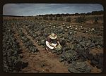 Mrs. Norris with homegrown cabbage 1a34099v.jpg