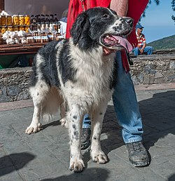 Mucuchies dog in Ávila Mont cut version.jpg