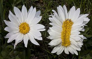 Fasciation - Wyethia helianthoides or Mule's Ear Wildflower (on right) showing fasciation
