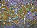 Mustard Powder Lichen.JPG