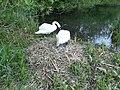 Mute Swan Nest 14-05-10 (4613165290).jpg