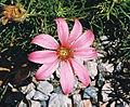 Mutisia subulata (8480899636).jpg
