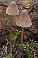 Mycena robusta (A.H. Sm.) Maas Geest., 306676.jpg