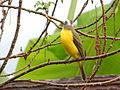 Myiozetetes similis Belize1.jpg