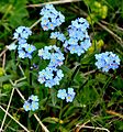 Myosotis alpestris Alpine Forget-me-not ალპური კესანე.JPG